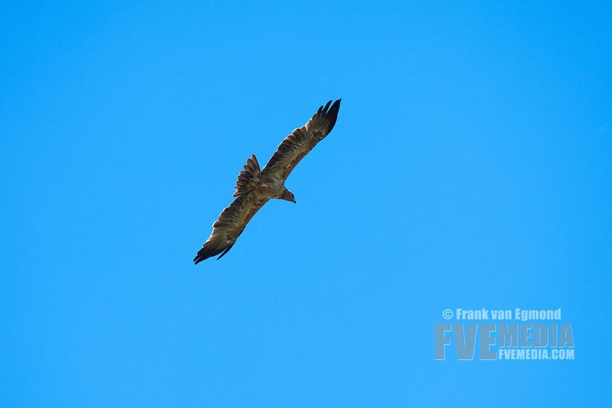 Tawny Eagle (Aquila Rapax)...Hluhluwe Imfolozi Game Reserve..Kwazulu-Natal, South Africa..November 2010.