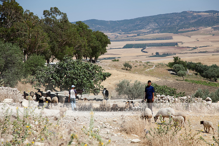 Two boys shepherd a flock of goats and sheep across a field below the ancient Roman site of Dougga in Tunisia.