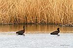 IBIS; white faced ibis