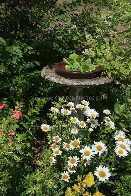 Bird bath, Leucanthemum, Coleus Pineapple Queen, Pistia water lettuce in tiny water feature pond, impatiens, Hydrangea flowering shrub, a mix of annuals and perennials in summer flower garden