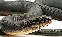 Northern Waternsnake.Nerodia Sipedon.A very dark specimen.