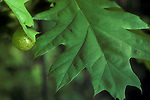 Oak apple gall on red oak leaf, Amphibolips confluenta, immature, spring<br />