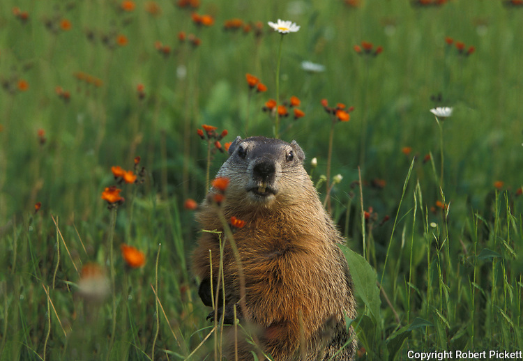 Groundhog, Marmota monax, in flower meadow, Minnesota, USA,