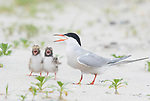 Common Terns (Sterna hirundo), adult with two begging chicks, adult calling, Long Island, New York, USA