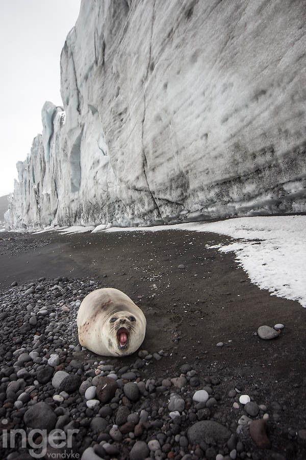 Southern Elephant Seal pup under the Baudissin Glacier, Heard Island, Antarctica