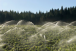 Sprinklers irrigate vineyards in El Dorado County, California
