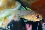 Apogon robbyi, Striped cardinalfish, Roatan