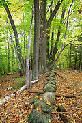 Leaf drop around a stone wall at Friedsam Town Forest in Chesterfield, New Hampshire during the autumn months.
