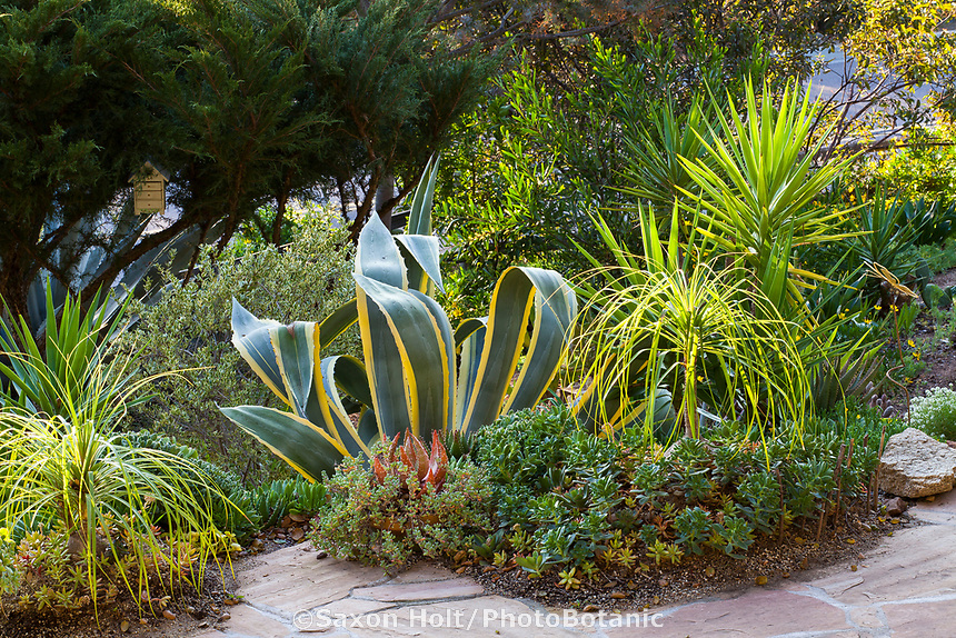Agave americana 'Marginata' with Beaucarnea recurvata, Ponytail Palms , Yucca aloifolia, Spanish Dagger and low growing Aeoniums in Debra Lee Baldwin Southern California garden