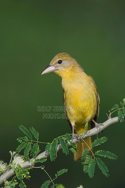 Summer Tanager, Piranga rubra, female on Guajillo (Acacia berlandieri), Willacy County, Rio Grande Valley, Texas, USA