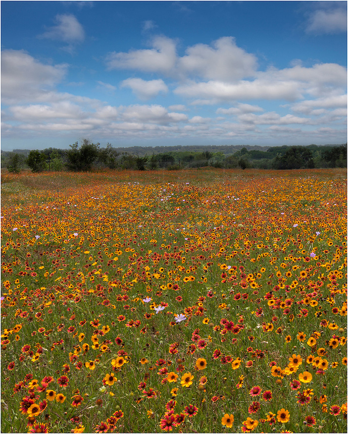 Along a bend in the road along 962 near Cypress Mill, I stopped to take in this field of coreopsis and firewheels, two of my favorite wildflowers of Texas because of their vibrant colors.