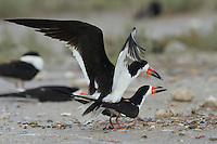 Black Skimmer (Rynchops niger), pair mating, Port Isabel, Laguna Madre, South Padre Island, Texas, USA
