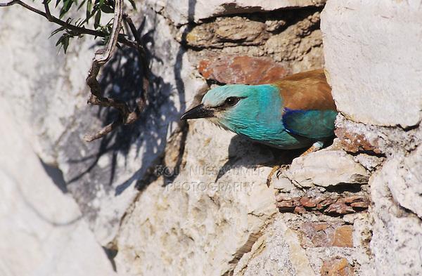 European Roller, Coracias garrulus,adult at nesting cavity in stone bridge, Samos, Greek Island, Greece, Europe