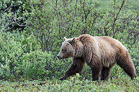 Grizzly Bear (Ursus arctos) walking through subalpine willows.  Banff National Park, Alberta Canada.  June.