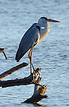 Yala National Park Sri Lanka<br /> Grey Heron