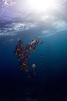schooling batfish, longfin spadefish, platax teira Raja Amapat, Indonesia, south Misool may 2011