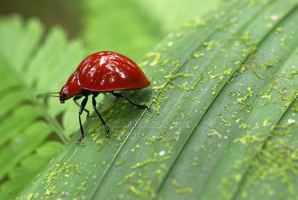 .Red Leaf Beetle, adult on leaf, Braulio Carrillo National Park, Costa Rica.