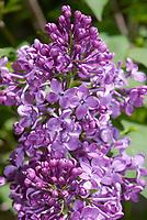 Lilac Pocahantas Syringa vulgaris