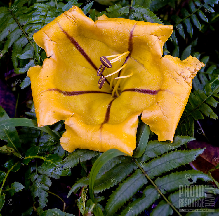 """The Golden Cup or Solandra maxima, can grow to 9"""""""" across."""