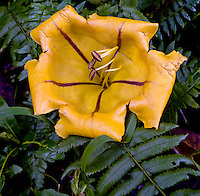 "The Golden Cup or Solandra maxima, can grow to 9"""" across."
