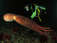 mj318. Pacific Giant Octopus (Enteroctopus dofleini) with scuba diver. Pacific Northwest..Photo Copyright © Brandon Cole. All rights reserved worldwide.  www.brandoncole.com..This photo is NOT free. It is NOT in the public domain. This photo is a Copyrighted Work, registered with the US Copyright Office. .Rights to reproduction of photograph granted only upon payment in full of agreed upon licensing fee. Any use of this photo prior to such payment is an infringement of copyright and punishable by fines up to  $150,000 USD...Brandon Cole.MARINE PHOTOGRAPHY.http://www.brandoncole.com.email: brandoncole@msn.com.4917 N. Boeing Rd..Spokane Valley, WA  99206  USA.tel: 509-535-3489