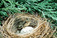 Tree frog on blue grosbeak nest with cowbird eggs, Missouri USA