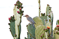 Gila Woodpecker, Arizona, USA