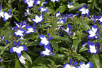 Lobelia erinus Superstar bicolored annual flower
