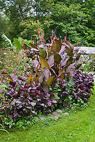 Purple garden: Canna indica King Humbert, Perilla frutescens, Cleome, tropical garden, Musa bananas, purple dark foliage amid green relief. Garden of Doug Cosh, Milford, PA