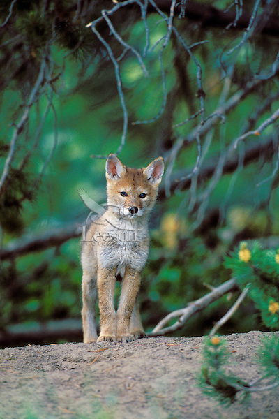 Wild coyote pup stands on mound of dirt near densite.  Western U.S., June.