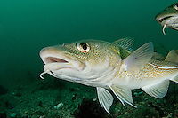 Gadus Morhua, Dorsche, Kabeljau, Atlantic Cod, kleiner Strytan, Akureyri, Eyjafjord, Nord Island, Grönlandsee, little Strytan, small chimney, Akureyri, Eyjafjord, North Iceland, Greenland Sea
