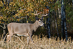 White-tailed buck(s) (Odocoileus virginianus) in fall