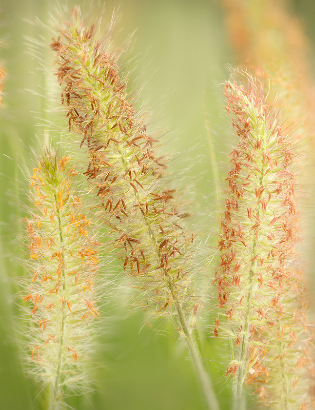 Hameln Fountain Grass close up. Oregon