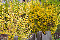 Two colors of forsythia spring flowering bushes in yellow bloom side by side next to fence