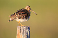 Wilson's Snipe (Gallinago delicata). Sublette County, Wyoming. July.