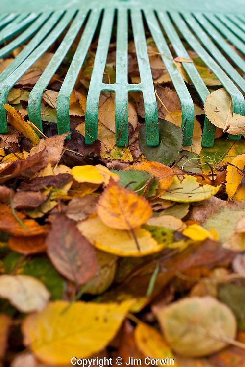 Green rake with Autumn leaves raking up yard close-up