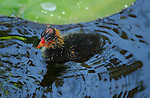 American Coot Baby, Echo Park, Los Angeles, California