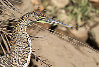 A juvenile Bare-throated tiger heron stands still along the banks of the Rio Tarcoles.