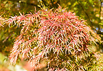 Japanese maple tree in autumn colour, Acer Palmatum, National arboretum, Westonbirt arboretum, Gloucestershire, England, UK 'Seiryu'
