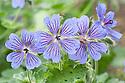 Geranium renardii x platypetalum, mid May.