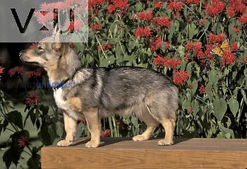 Swedish Vallhund variety of domestic dog.