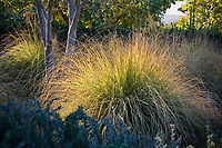 Bunch grass Festuca mairei, Atlas Fescue catching afternoon light in Southern California meadow garden border under trees