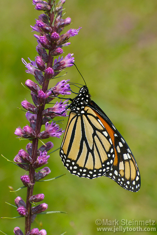 Monarch butterfly (Danus plexippus) obtaining nectar from a Dense Blazing Star (Liatris spicata), at Claridon Prairie, an original tallgrass prairie remnant in Marion County, Central Ohio. L. spicata is native to the Eastern North America.