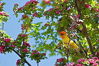 Western Tanager in Hawthorn Tree, Oregon