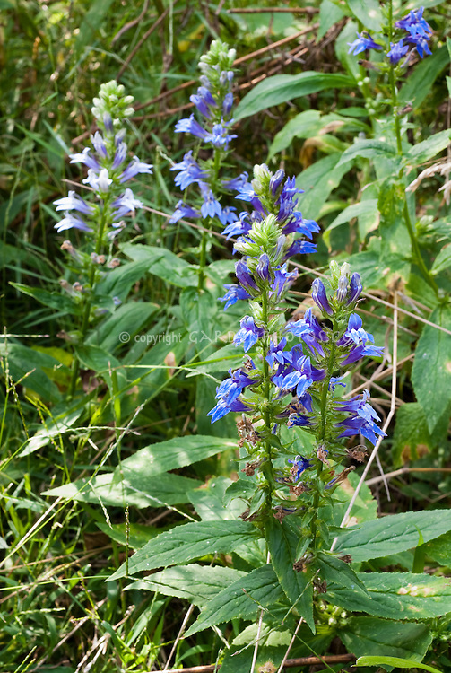 Lobelia siphilitica (three blue shades)
