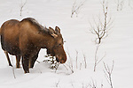 A young moose forages for food in the snow-covered ground.