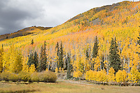 Storm light on autumn aspens near Wetterhorn trailhead