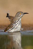 582000065 a wild long-billed thrasher toxostoma longirostre bathes in a small pond on santa clara ranch starr county texas united states