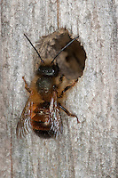 Rote Mauerbiene, Mauer-Biene, am Loch in einer Wildbienen - Nisthilfe, Osmia rufa, Osmia bicornis, red mason bee