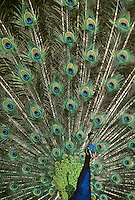 """Blauer Pfau, balzendes Männchen, Ausschnitt aus den prachtvollen Schwanzfedern des Männchen, Hahn, """"Augen"""" aus Federn, Pavo cristatus, common peafowl, peacock, Indian peafowl"""